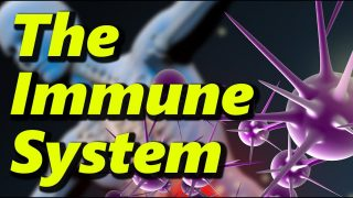 The Human Immune System – What Happens During A COVID Infection?